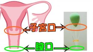 解剖図との比較